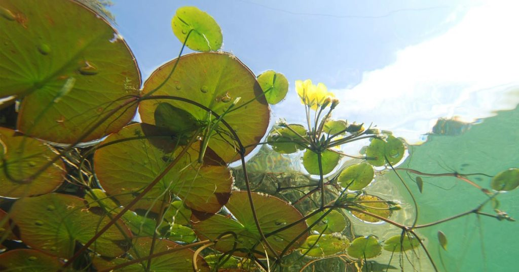The surface plants of a pond or lake, as seen from below.